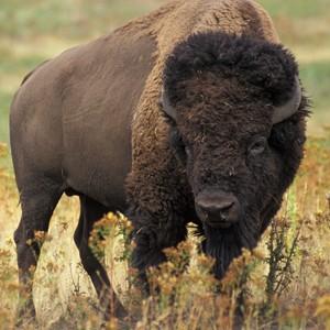 bison-image